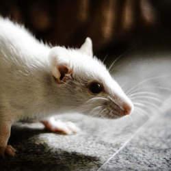 人間を超える生物が生み出されるのか? 人間の脳細胞を移植したマウスが誕生