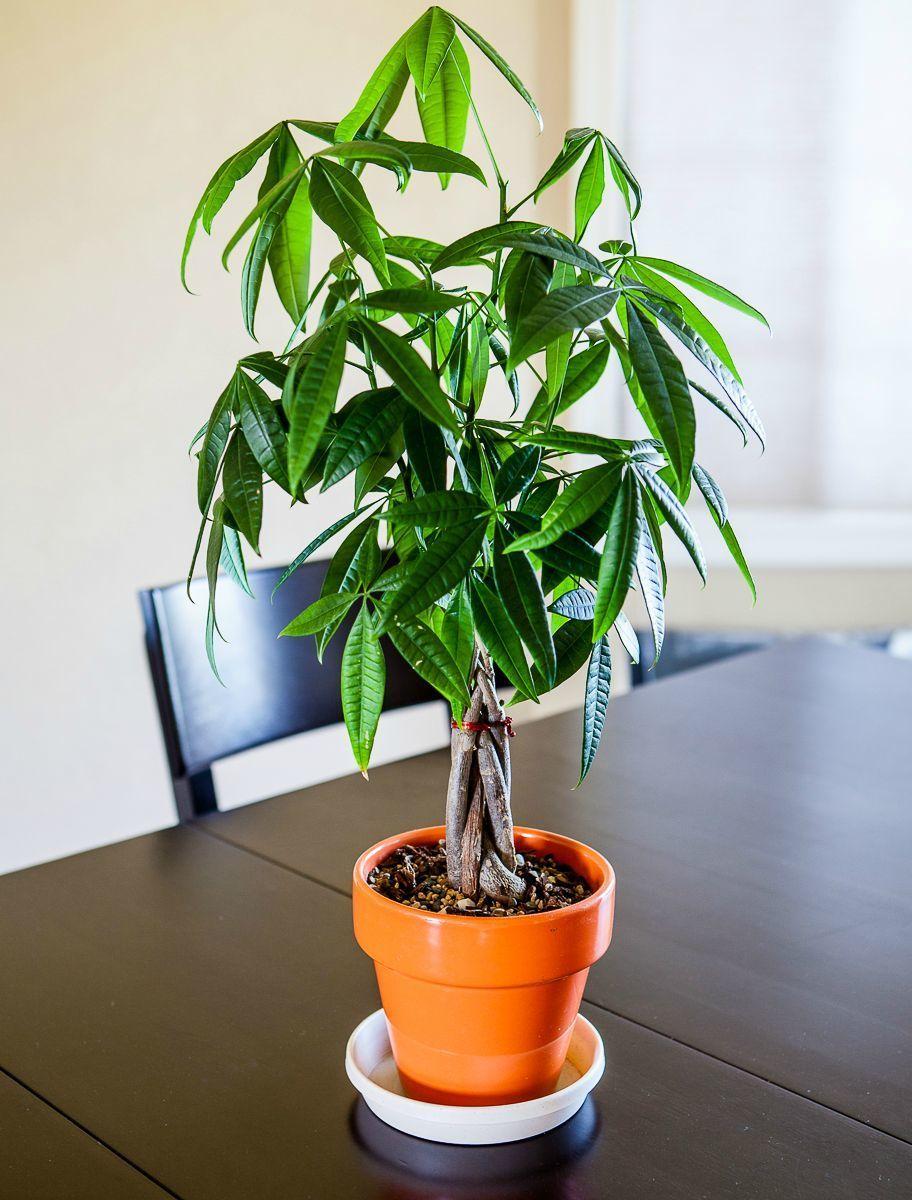"""リビングに""""観葉植物""""がある暮らし:目にも美しく健康まで守ってくれる「4つのおすすめ観葉植物」 5番目の画像"""