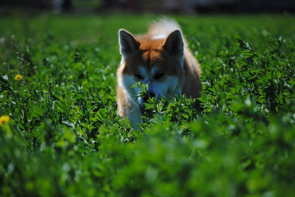 プーチン大統領も大好き! 秋田犬が世界的な高級犬に 1番目の画像