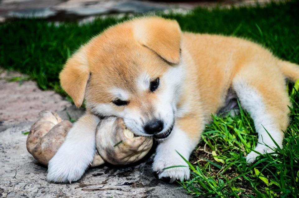 プーチン大統領も大好き! 秋田犬が世界的な高級犬に 2番目の画像