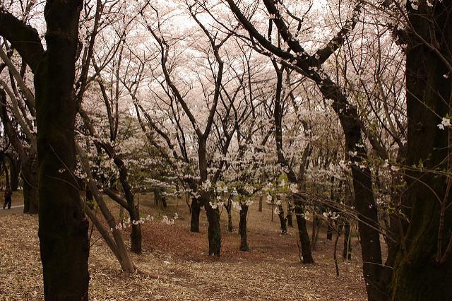定番でも場所取りしやすい穴場!宴会可能な東京都内の花見スポット6選&花見の持ち物 6番目の画像
