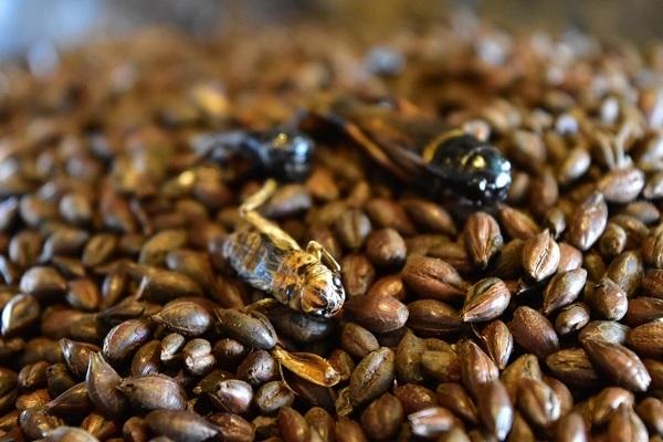 コオロギを原料に使った「コオロギビール」が誕生、クリーミーな口当たりに重厚感ある味わい 2番目の画像