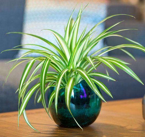 """リビングに""""観葉植物""""がある暮らし:目にも美しく健康まで守ってくれる「4つのおすすめ観葉植物」 4番目の画像"""