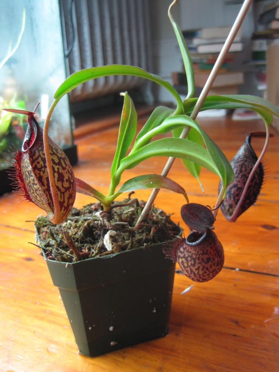 """リビングに""""観葉植物""""がある暮らし:目にも美しく健康まで守ってくれる「4つのおすすめ観葉植物」 6番目の画像"""