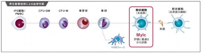 阪大発ベンチャーのマイキャン・テクノロジーズ社、iPS細胞から誘導したウイルス研究用細胞「iMylc細胞」を発売 2番目の画像